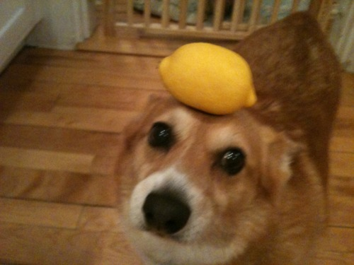 Picture of Dog with Lemon on head